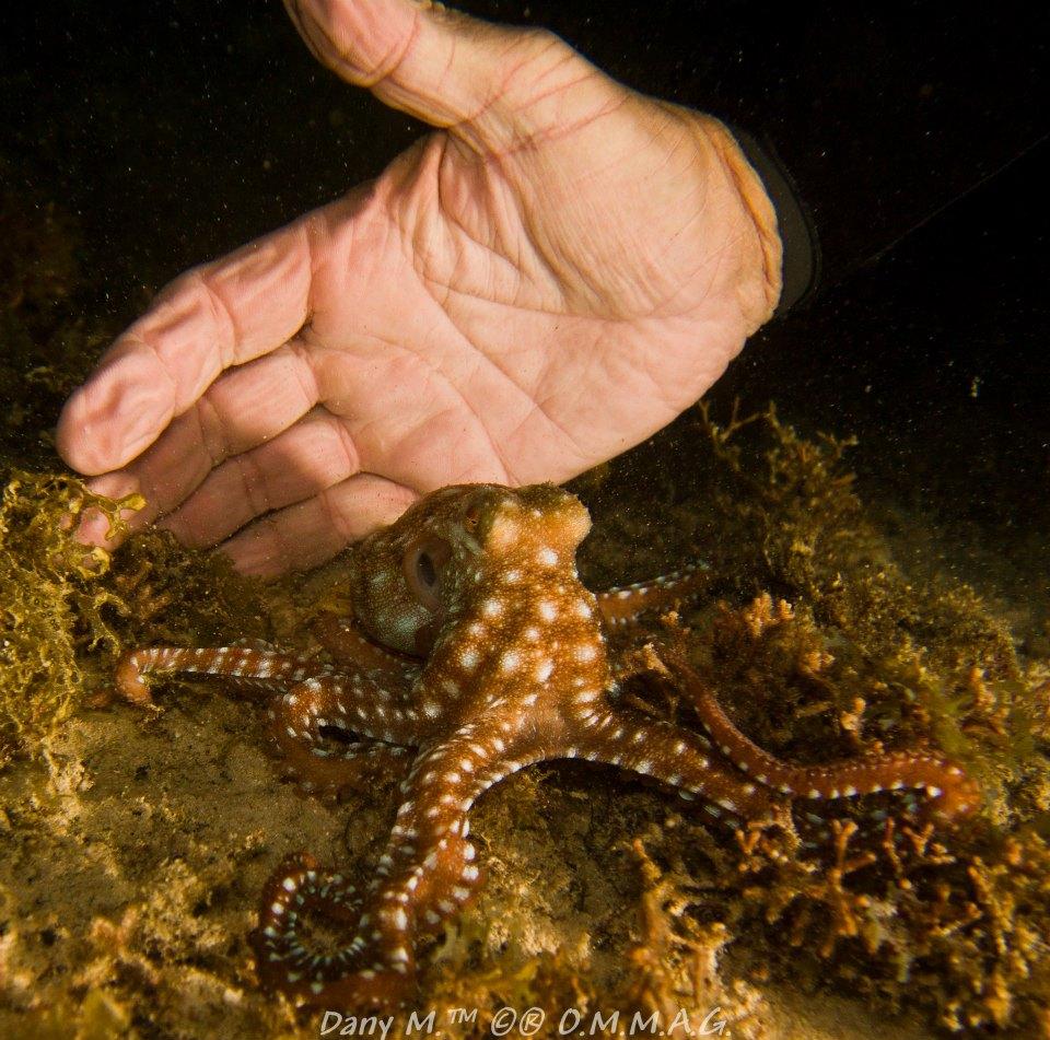 En plongée de nuit, Le Poulpe à Points Blancs (Octopus macropus) n'est pas farouche.