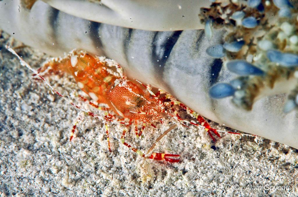 Crevette de la Méduse Cassiopée (Periclimenes ?)