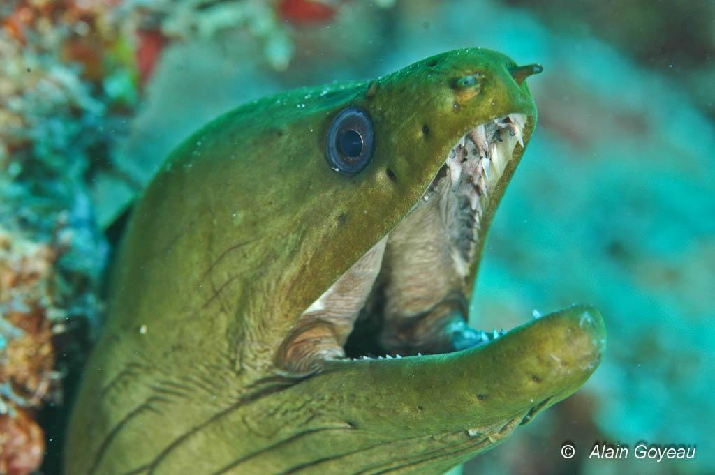 La Murène verte a une dentition impressionnante et sa morsure est redoutable.