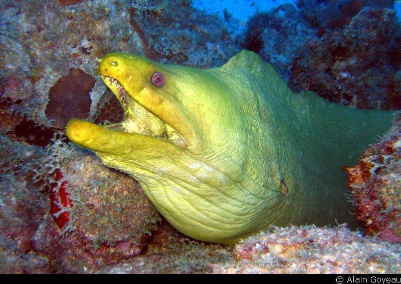 Murène verte, Congre vert ( Gymnothorax funebris).