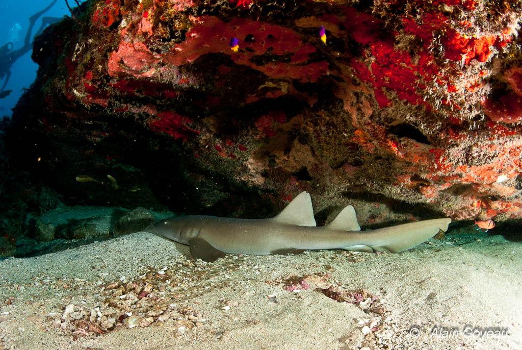 Un requin Dormeur endormi dans les éboulis de la Grande Vigie de Guadeloupe.