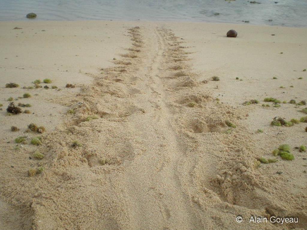La trace caractéristique d'une tortue Imbriquée sur une plage de Guaseloupe.