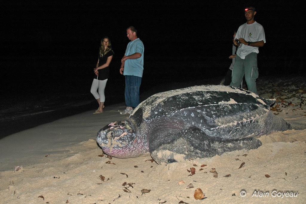Une tortue Luth regagne la mer aprés avoir pondu sur la plage du Souffleur à Port Louis en Guadeloupe.