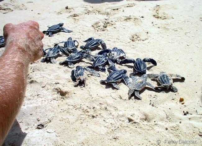 Dans le nid nous découvrons 37 petites tortues luth bien vivantes.