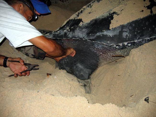 La pose de bague sur les pattes arrière de la tortue est une opération délicate.