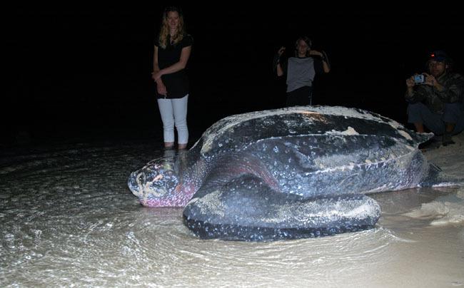 Sa mission accomplie nani notre tortue Luth retourne à la mer. Réseau Tortues Marines Guadeloupe.