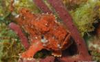 Le poisson Crapaud (Antennarius multiocellatus) est un excellent pêcheur à la ligne.