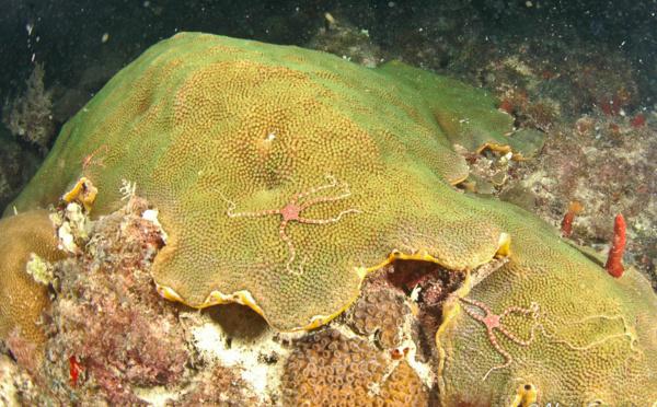 La féérie de la reproduction des coraux en Guadeloupe.