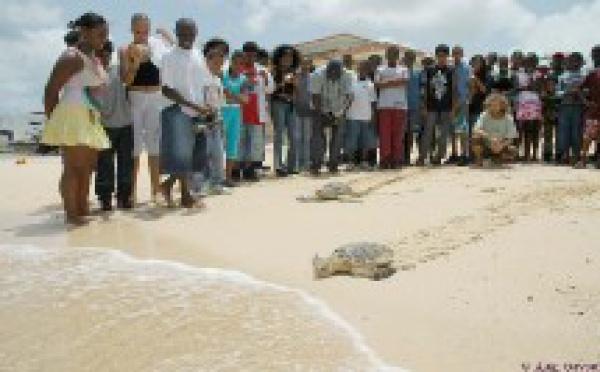 Aprés leur guérison, deux tortues marines sont remises à l'eau à Port-Louis en Guadeloupe.