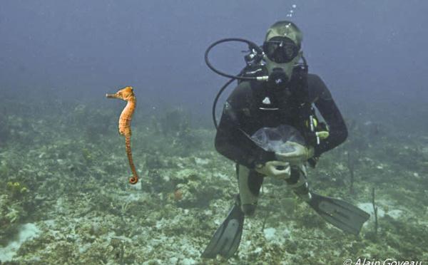Environ 150 hippocampes nés à l'aquarium de la Guadeloupe ont découvert leur élément naturel.