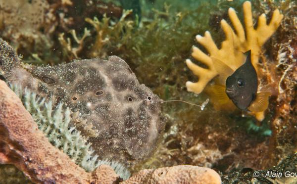 Un poisson pêcheur à la ligne ! Le poisson Crapaud.