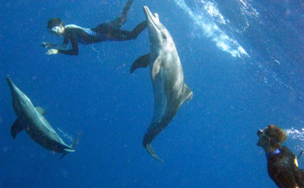Un groupe de Dauphins en Guadeloupe (Steno bredanensis) vient à la rencontre des plongeurs.