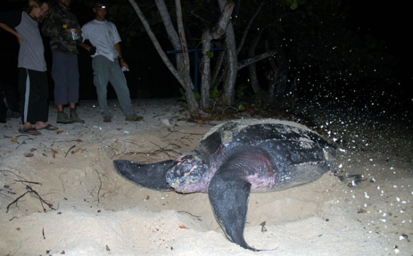 Le retour des tortues Luths à Port Louis