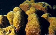 Une plongée magique à la découverte de la reproduction du Corail-étoilé Massif (Montastraea annularis)