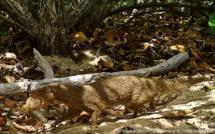 Les tortues marines en Guadeloupe menacées !