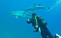 Un groupe de dauphin Steno sédentaires, habitués de Port Louis Guadeloupe.