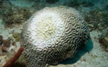 Le corail menacé par une nouvelle maladie mortelle !