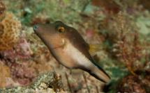 Les paisibles poissons coffre et globe en Guadeloupe savent parfaitement se défendre