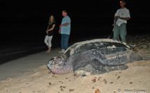 Sur les traces des tortues marines de Guadeloupe.